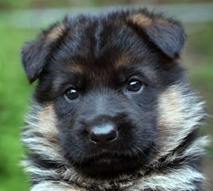 Von Den Oher Tannen German Shepherd Breeder