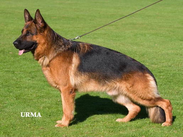 german shepherd standard german shepherd dog the breed standard von den oher 9040