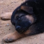 german shepherd breeder georgia